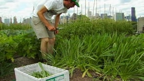 A-Farm-Grows-in-Brooklyn...on-a-Rooftop
