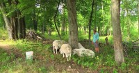 Happy Sheep: Raising & Shepherding Good Meat at Kinderhook Farm