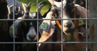 Eating Goats to Save Them:  Heritage Foods USA's  —  No Goat Left Behind Manifesto