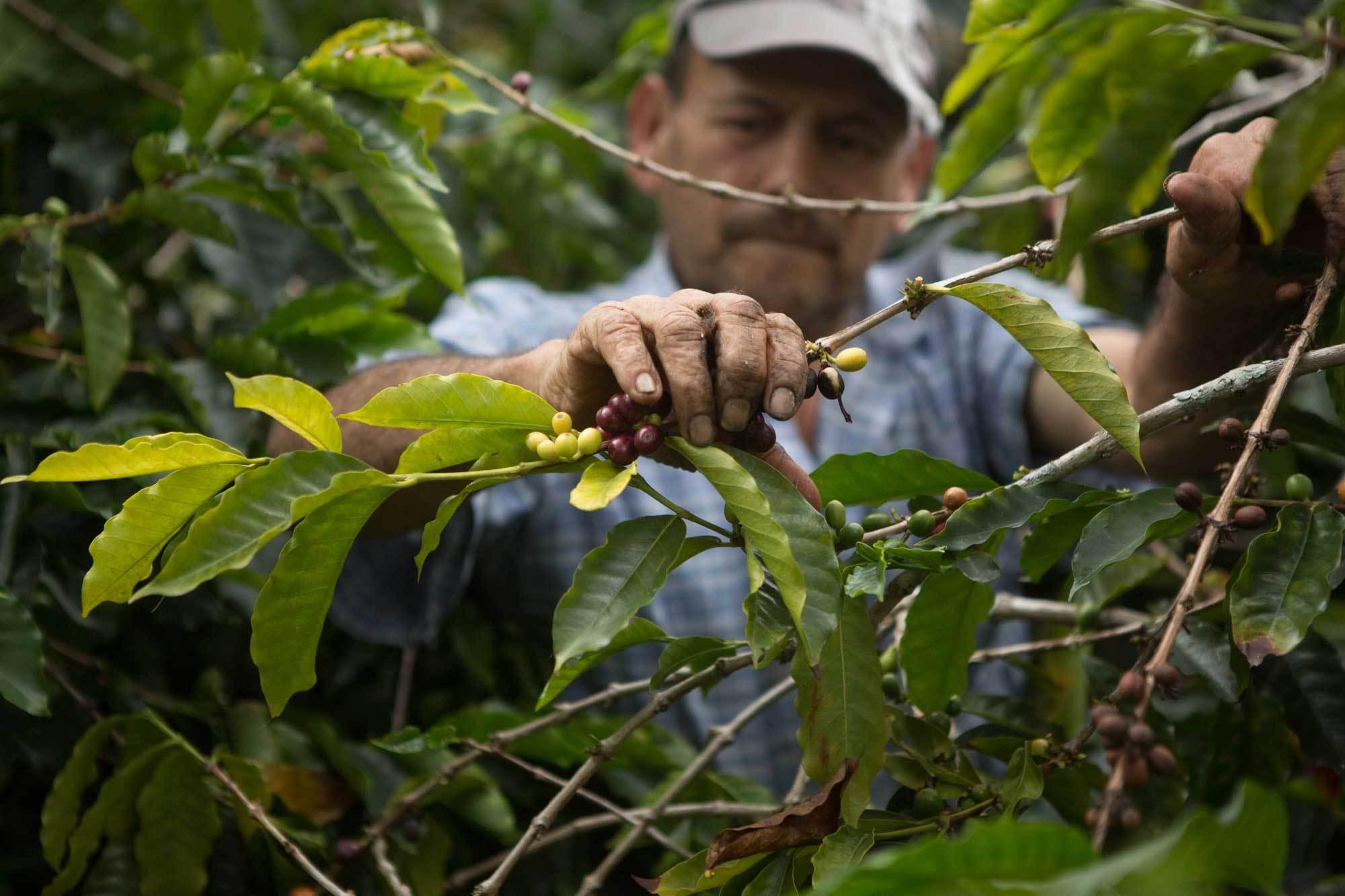 devocion coffee harvest